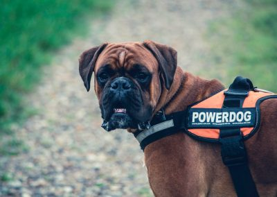 Quines obligacions administratives suposa tindre un gos com a animal de companyia?